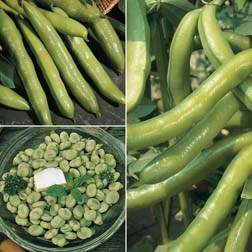 Broad Bean Collection - 3 packets - 1 of each variety (150 seeds in total)