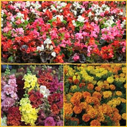 Bedding and Border Variety Pack - 36 plugs - 12 of each variety