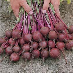 Beetroot 'Boro' F1 Hybrid (Organic) - 1 packet (200 seeds)