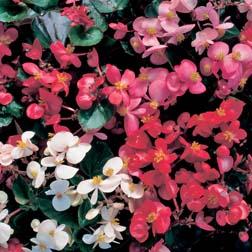 Begonia 'Stara Mixed' F1 Hybrid - 1 packet (80 seeds)