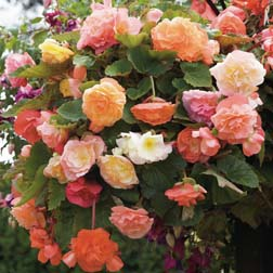 Begonia x tuberhybrida 'Fragrant Fountains® Mixed' - 5 tubers