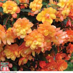 Begonia x tuberhybrida 'Apricot Shades Improved' F1 Hybrid - 5 jumbo plugs