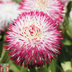 Bellis `Pomponette Bicolour` (Garden Ready) 30 bellis garden ready plants