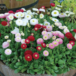 Bellis `Bellisima Mixed` (Garden Ready) 30 bellis garden ready plants