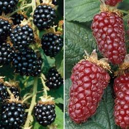 Berry Collection - 2 plants in 9cm pots - 1 of each variety