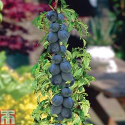 Plum Black Amber (Mini Fruit Tree)  1 x 9cm potted plum plant