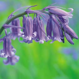 English Bluebells 120 English bluebell bulbs