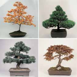 Bonsai 'Conifer Trees Mixed' - 1 packet (100 seeds)