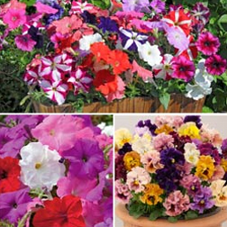 Bedding and Borders Mix - 36 plug plants - 12 of each variety