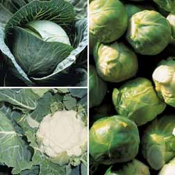 Brassica 'Clubroot Resistant Collection' - 15 plants