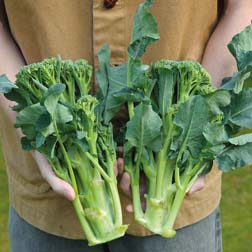 Broccoli `Brokali Apollo` F1 Hybrid (Calabrese, Chinese Kale) 1 packet (25 broccoli seeds)