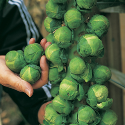 Brussels Sprout 'Trafalgar' F1 Hybrid - 1 packet (40 seeds)