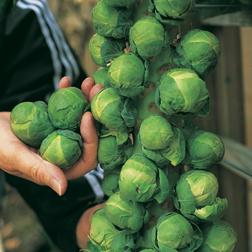 Brussels Sprout 'Trafalgar' F1 Hybrid - 1 packet (40 seeds)