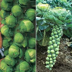 Brussels Sprout 'Full Season Collection' - 2 packets - 1 of each variety (70 seeds in total)