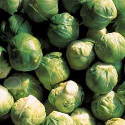 Brussels Sprout 'Crispus' F1 Hybrid - 15 plants
