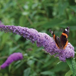 Buddleja 'Colour Fountain Blue' - Part of the Alan Titchmarsh Collection - 3 jumbo plugs