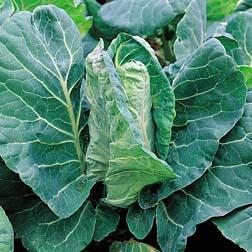 Cabbage 'Greyhound' (Summer/Autumn ) - 1 packet (500 seeds)