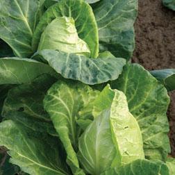 Cabbage 'Hispi' F1 Hybrid (Summer) - 1 packet (40 seeds)