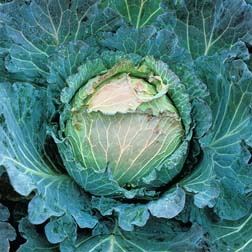 Cabbage 'January King 3' (Winter Savoy) - 1 packet (500 seeds)