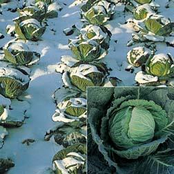 Cabbage 'Tundra' F1 Hybrid (Winter Savoy) - 15 plants