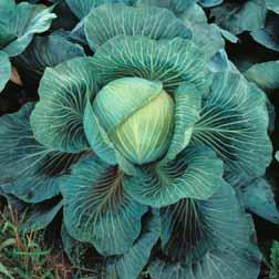 Cabbage 'Kilaton' F1 Hybrid (Autumn) - 15 plants