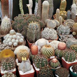 Cactus 'Special Mix' - 1 packet (80 seeds)