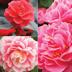 Camellia Collection - 3 plants in 9cm pots - 1 of each variety
