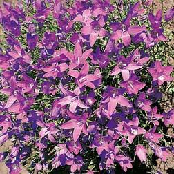 Campanula lusitanica ssp. lusitanica - 1 packet (200 seeds)