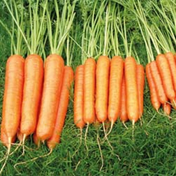 Carrot 'Sweet Candle' F1 Hybrid - 1 packet (300 seeds)