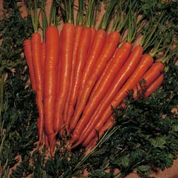 Carrot 'Sugarsnax 54' F1 Hybrid - 1 packet (200 seeds)