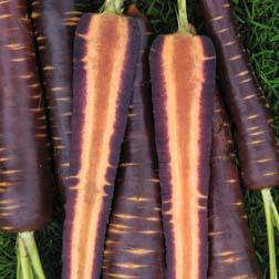 Carrot : Purple Haze F1 Hybrid - 1 packet (300 seeds)