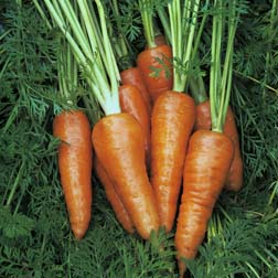 Carrot : Supreme Chantenay Red Cored - 1 packet (2500 seeds)