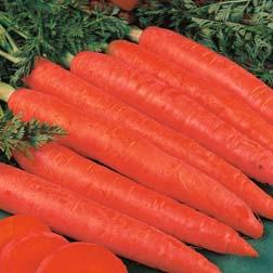 Carrot : Red Samurai - 1 packet (350 seeds)