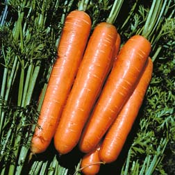 Carrot : Ulysses F1 Hybrid - 1 packet (500 seeds)