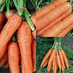 Carrot Fly Free Collection - 3 packets - 1 of each variety (2850 seeds in total)