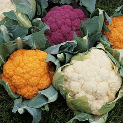 Cauliflower 'Coloured Collection' - 30 plants - 10 of each variety