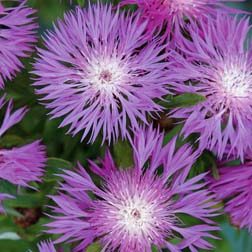 Centaurea dealbata - 1 packet (80 seeds)