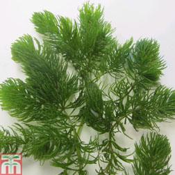 Ceratophyllum demersum (Oxygenating Aquatic) - 5 ceratophyllum plants