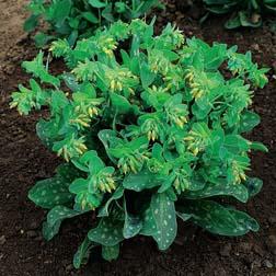 Cerinthe minor aurea Bouquet Gold - 1 packet (10 seeds)