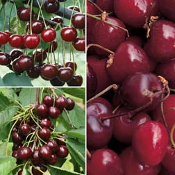 Cherry Collection - 3 maiden trees - 1 of each variety