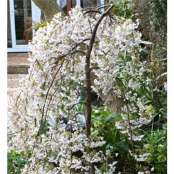 Cherry `Iford Flowering` 1 x 1.2m bare root cherry tree