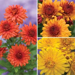 Chrysanthemum 'Igloo Series' - 9 jumbo plugs