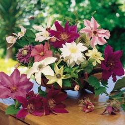 Clematis Large-flowered Collection - 5 jumbo plugs