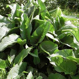 Comfrey 'Bocking 14' - 5 root cuttings