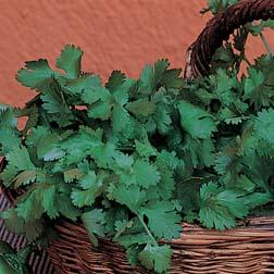 Coriander - Organic - 1 packet (150 seeds)