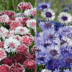 Cornflower Collection - 2 packets - 1 of each variety (400 seeds in total)