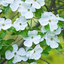 Cornus 'Eddie's White Wonder' - 1 x 2 litre potted plant