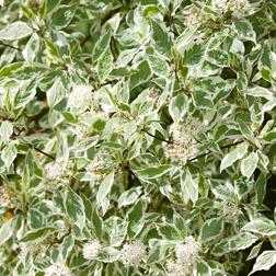 Cornus alba `Elegantissima` (Large Plant) 1 x 3.5 litre potted cornus plant