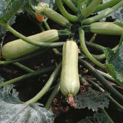 Courgette Cavili F1 Hybrid - 1 packet (5 seeds)