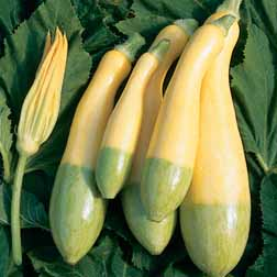 Courgette `Zephyr` F1 Hybrid 1 packet (10 courgette seeds)